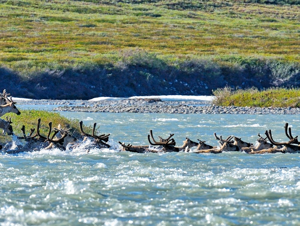 Animals from the Porcupine Caribou Herd in the Arctic Refuge