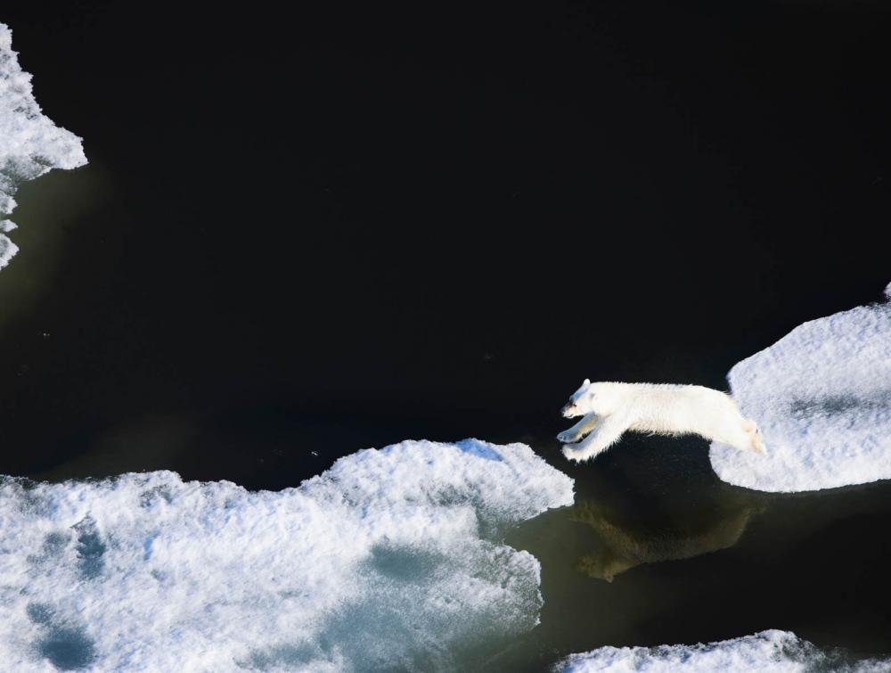 Polar bear in the Arctic Ocean