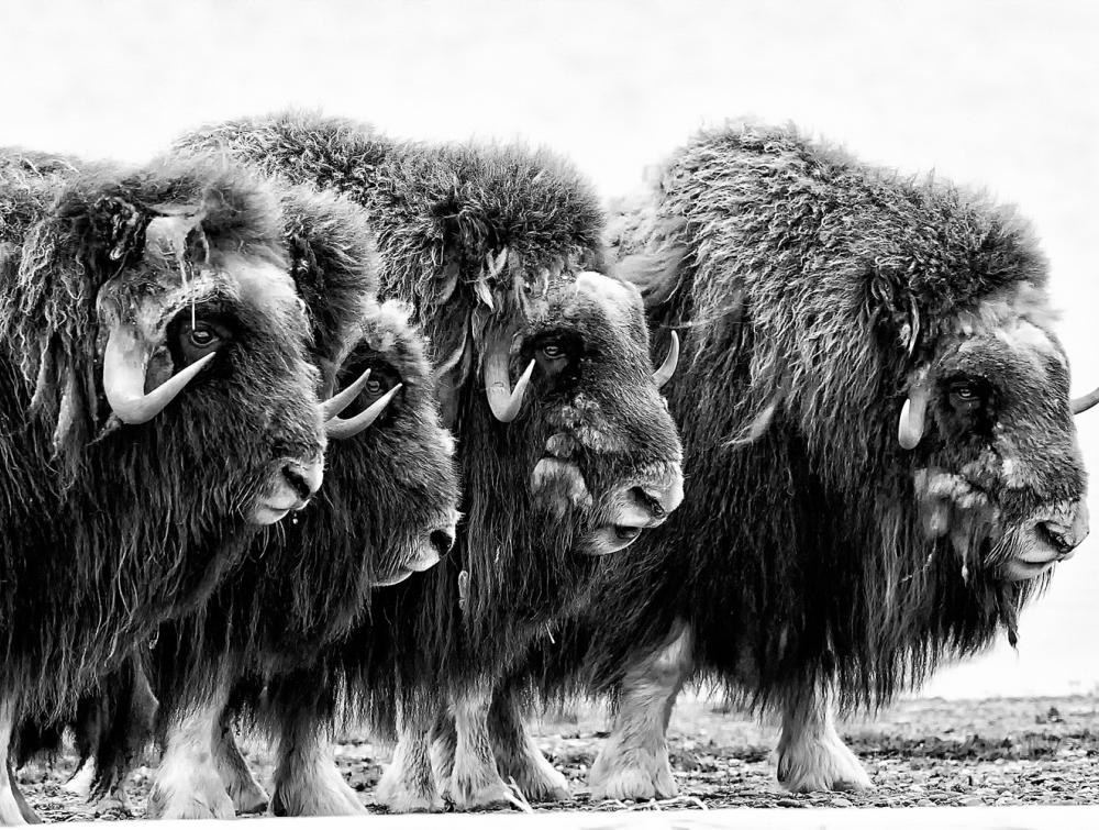 Musk Oxen in the Arctic National Wildlife Refuge, Alaska.