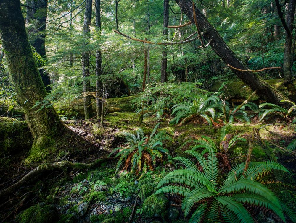 Dense green forest growth, ferns and moss in Tongass National Forest, Alaska