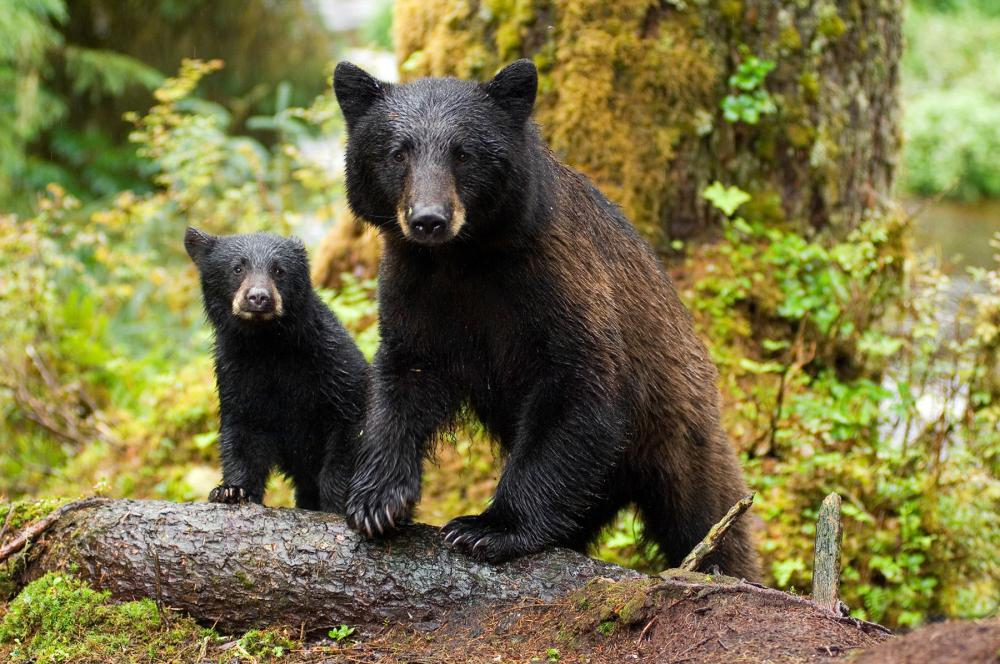 Black bears in Tongass National Forest, Alaska