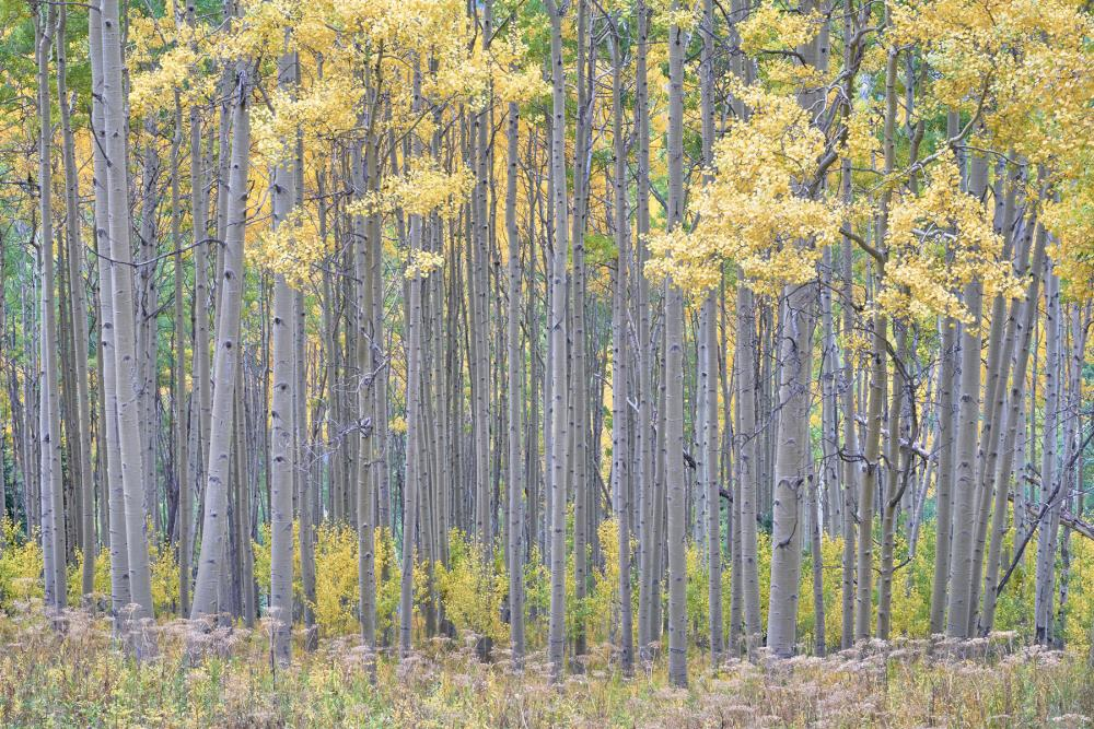 A row of aspens stands in White River National Forest, Colorado
