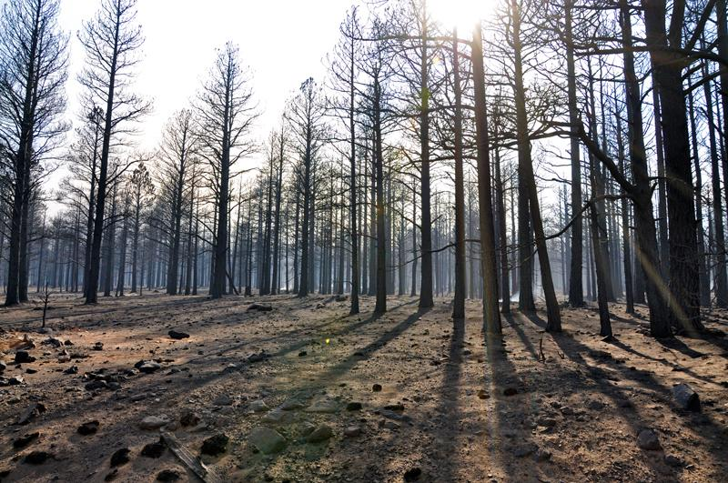 The Coconino National Forest (Arizona) in the aftermath of a fire.