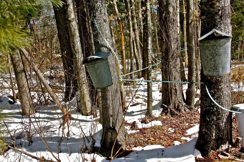 Buckets hanging from trees at maple syrup farm in Maine