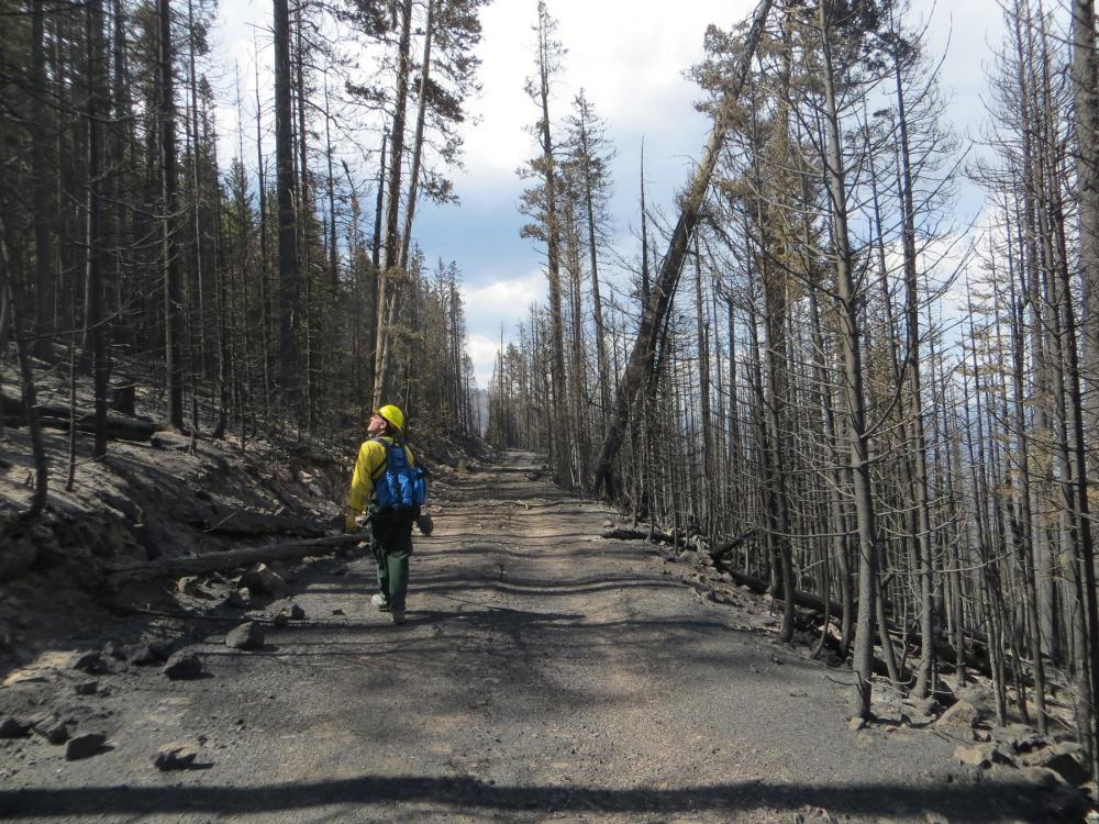 Man with yellow hardhat walking down path between rows of burnt trees