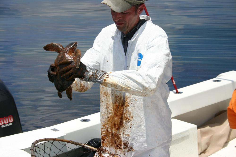 Dr. Brian Stacy, NOAA veterinarian, prepares to clean an oiled Kemp's Ridley turtle.