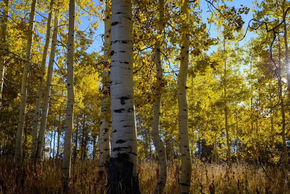 Aspens in Manti-La Sal National Forest, Utah