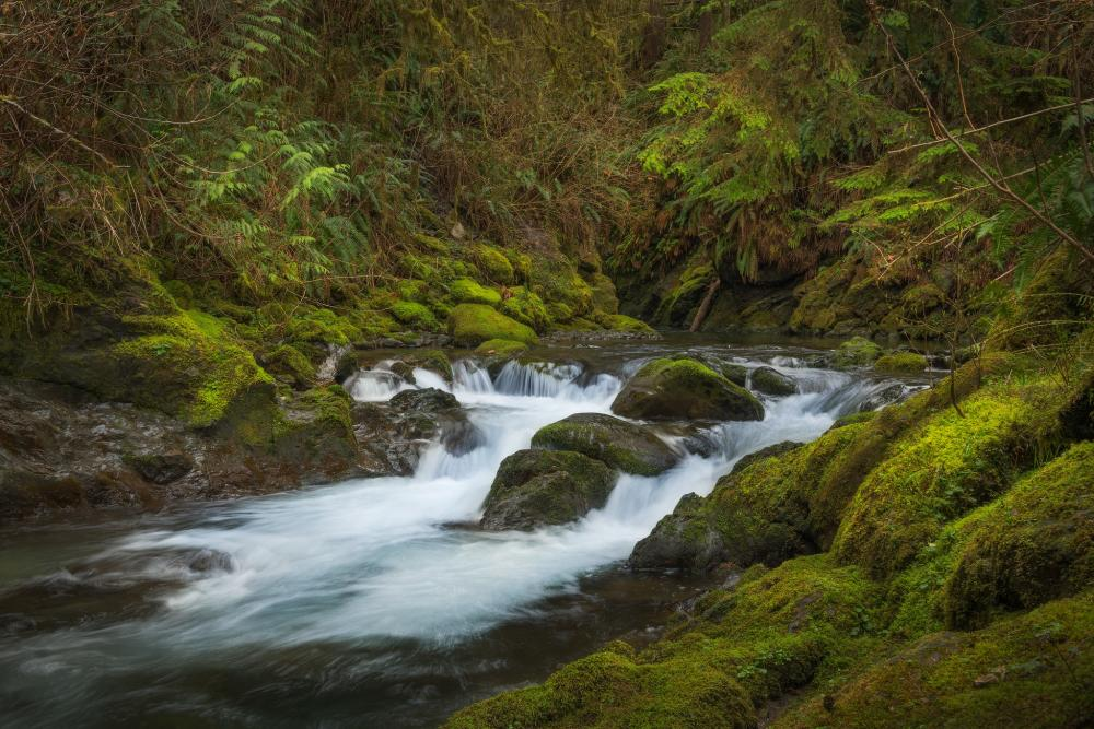 Creek rushing by in foreground amid mosses and ferns in Olympic National Forest, Washington