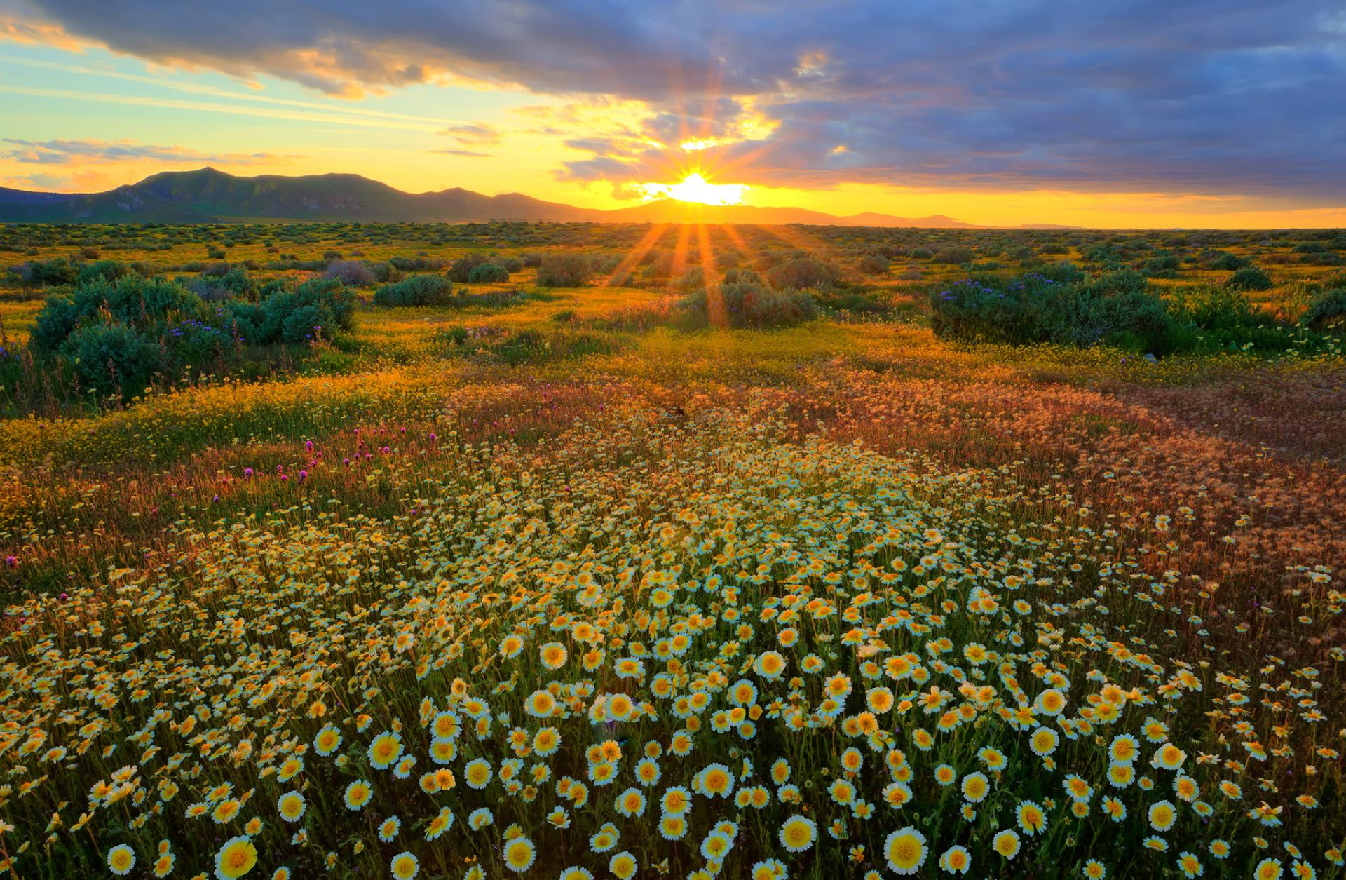 Wildflowers in Carrizo Plain National Monument, California.