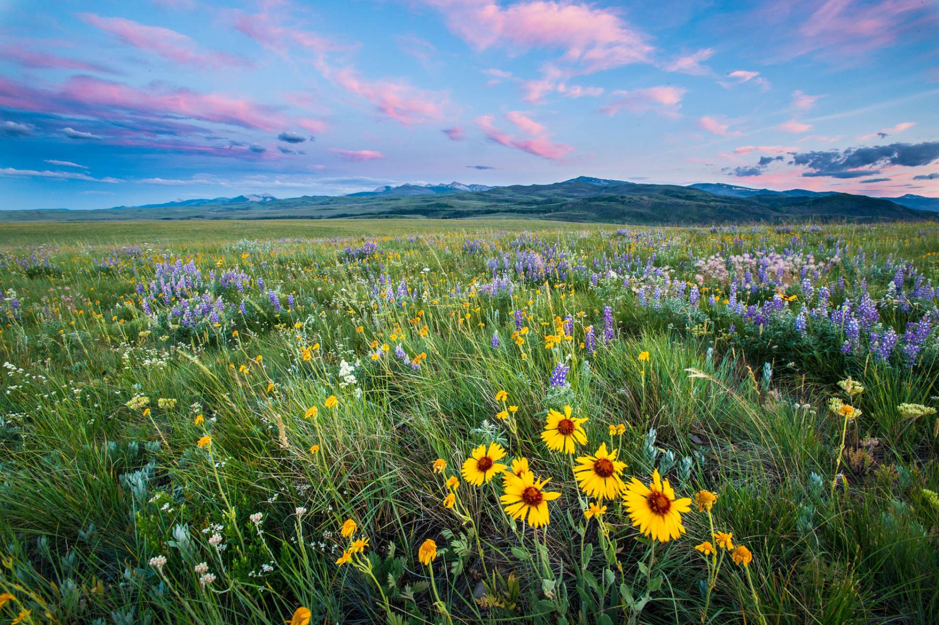 Wildflowers at sunset in Badger-Two Medicine, Montana