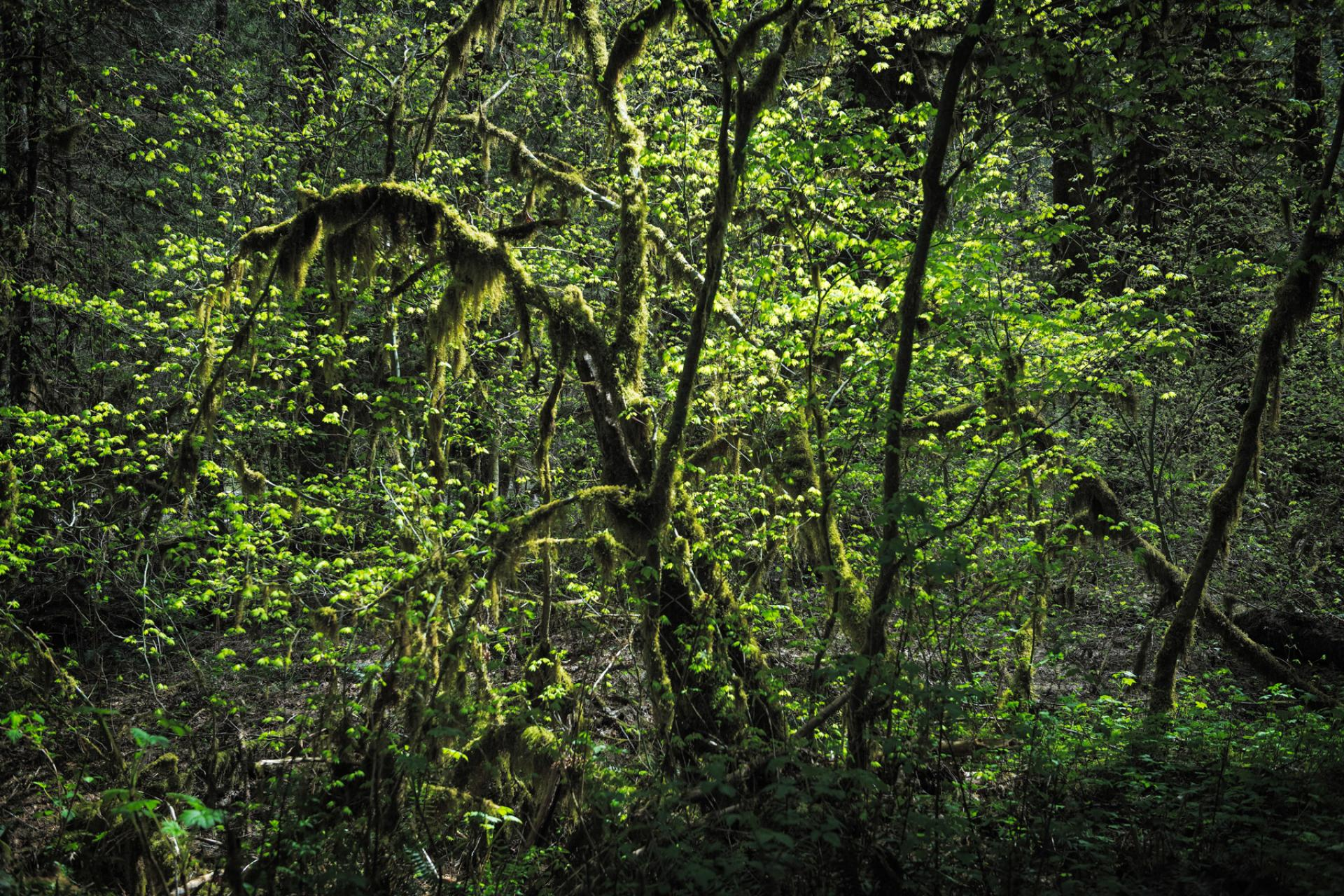 Close view of tangled green tree branches in Mt. Baker-Snoqualmie National Forest, Washington
